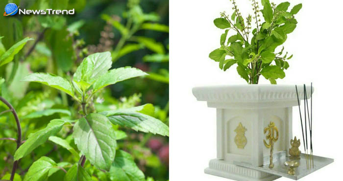 घर के आंगन में लगा तुलसी का पौधा दिलाएंगा आप को सभी परेशानियों से छुटकारा!